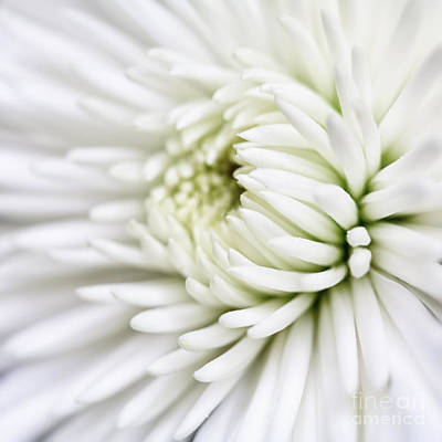 Photograph - White Chrysanthemum by Kate McKenna