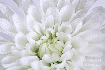 Photograph - White Chrysanthemum by Pattie Calfy