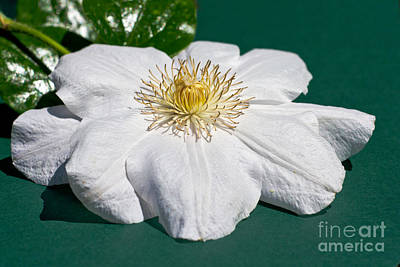 Photograph - White Clematis On Green by Terri Waters
