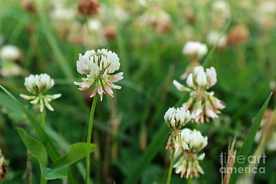 Photograph - White Clover Wild Flower In Midwest United States Meadow by Adam Long