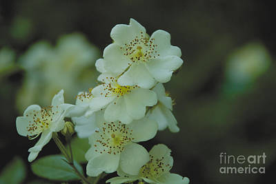 Photograph - White Cluster by William Norton