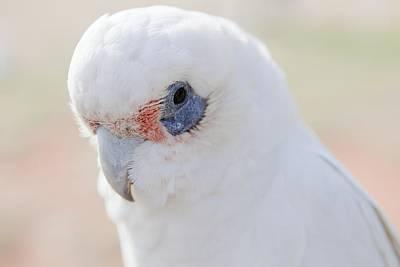 White Cockatoo, Exmouth, Australia Art Print
