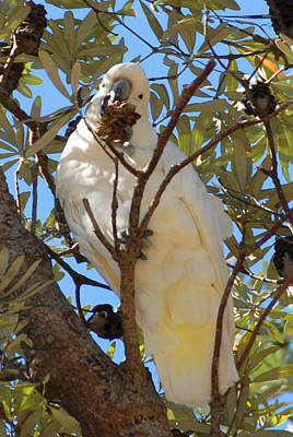 Photograph - White Cockatoo Feeding by Glen Johnson