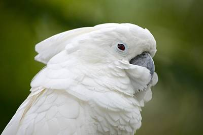 Photograph - White Cockatoo Profile by Richard Bryce and Family