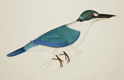 Illustration Technique Photograph - White-collared Kingfisher by British Library