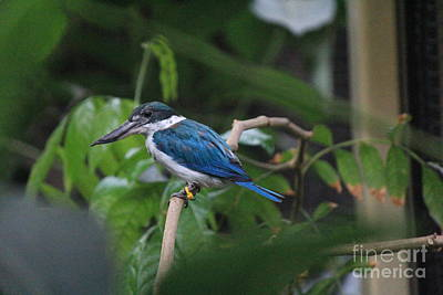 Photograph - White Collared Kingfisher by David Grant