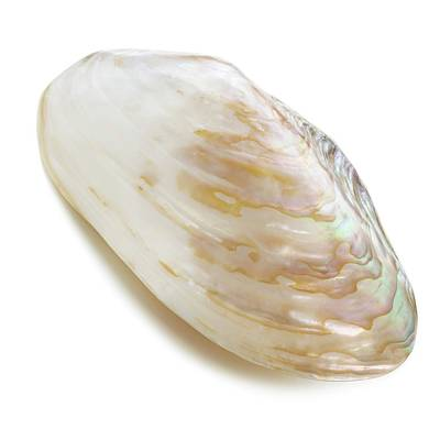 Abalone Wall Art - Photograph - White Coloured Abalone Shell by Science Photo Library
