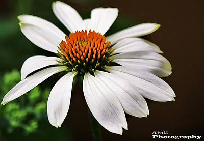 Photograph - White Coneflower by Al Fritz