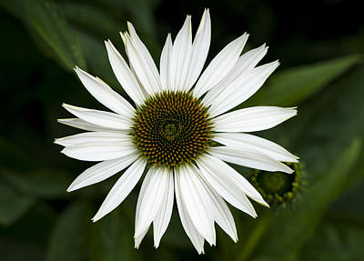 Photograph - White Coneflower by Dan Hefle
