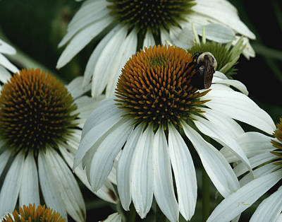 Art Print featuring the photograph White Coneflowers  by James C Thomas