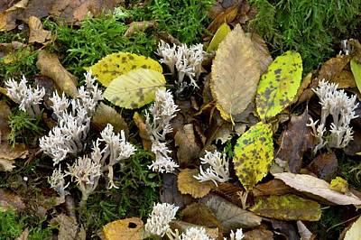 Mushroom Photograph - White Coral Fungus (clavulina Cristata) by Bob Gibbons