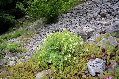 White Corydalis (corydalis Ochroleuca) Art Print