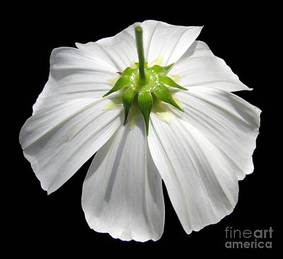 Photograph - White Cosmos Flower Closeup by Rose Santuci-Sofranko