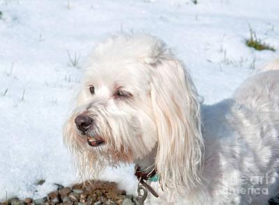 Coton Tulear Photograph - White Coton De Tulear Dog In Snow by Valerie Garner
