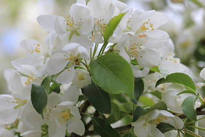 Photograph - White Crabapple Blossom Cluster by Donna Munro