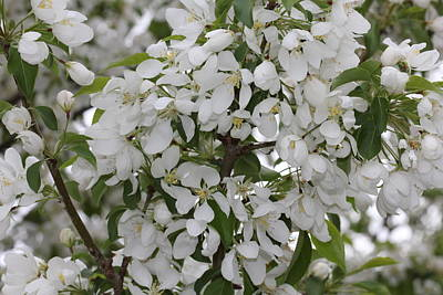 Photograph - White Crabapple Blossom Expanse by Donna Munro