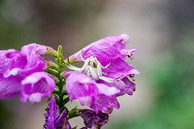 The Beatles - White Crabe Spider on Obedient Plant 1 by Douglas Barnett