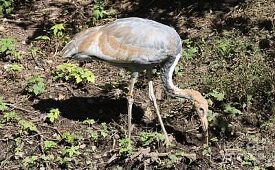 Photograph - White Crane Feeding by John Telfer