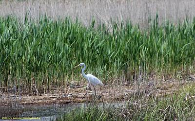 Photograph - White Crane by Nance Larson