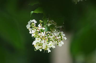 Art Print featuring the photograph White Crepe Myrtle Blossom by Suzanne Powers