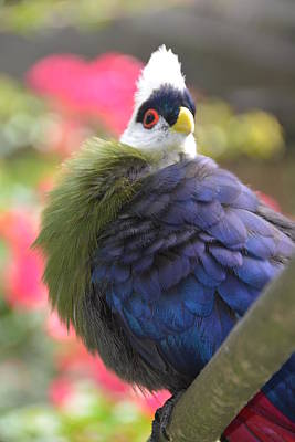 Photograph - White Crested Turaco by Michael Gooch