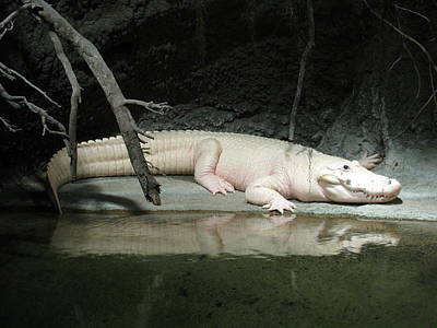 Photograph - White Croc by Steven Parker
