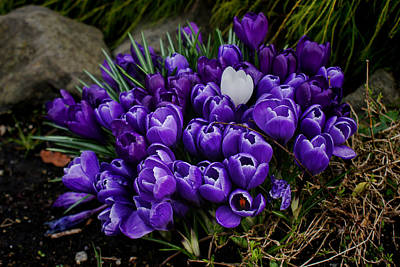 Photograph - White Crocus On A Field Of Purple by Ron Roberts