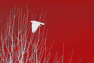 Crows Photograph - White Crow Red Sky by Lesa Fine