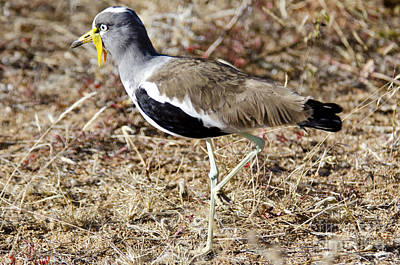 Lapwing Digital Art - White-crowned Lapwing by Pravine Chester