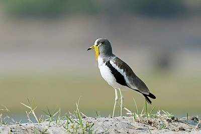 Lapwing Wall Art - Photograph - White-crowned Lapwing by Tony Camacho/science Photo Library