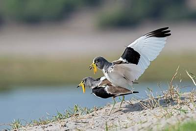 Lapwing Wall Art - Photograph - White-crowned Lapwings Mating by Tony Camacho/science Photo Library