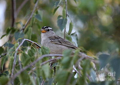 Photograph - White Crowned Sparrow 2 by Erica Hanel