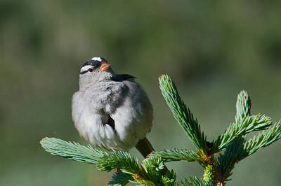 Photograph - White-crowned Sparrow by Cascade Colors
