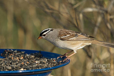 White-crowned Sparrow Eats Art Print by Linda Freshwaters Arndt