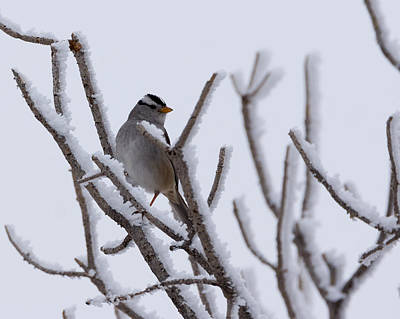 Sparrow Photograph - White Crowned Sparrow by Ernie Echols