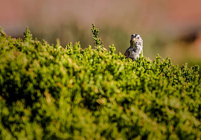 Photograph - White-crowned Sparrow In A Bush by  Onyonet  Photo Studios