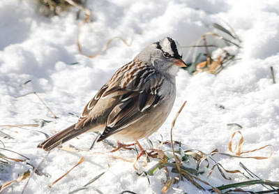 Sparrow Photograph - White-crowned Sparrow In The Snow by Jan M Holden