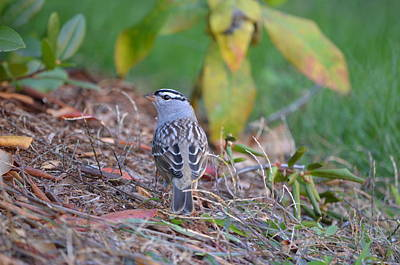 White-crowned Sparrow Art Print by James Petersen