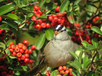 Photograph - White-crowned Sparrow by Joe Sweeney