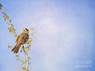 Photograph - White-crowned Sparrow by Marianne Jensen