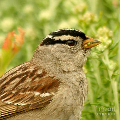 Print featuring the photograph White Crowned Sparrow Portrait by Bob and Jan Shriner