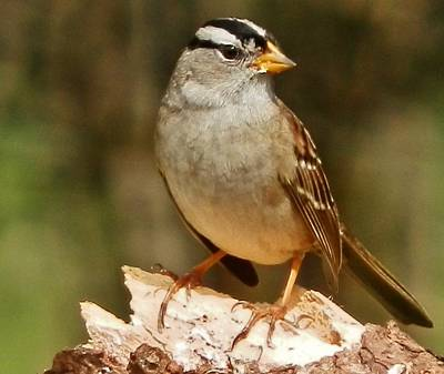 Photograph - White-crowned Sparrow by VLee Watson