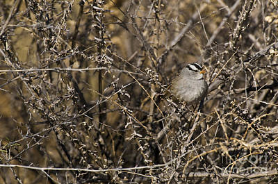 White-crowned Sparrow Art Print by William H. Mullins