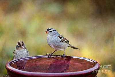 Photograph - White-crowned Sparrows by Linda Freshwaters Arndt