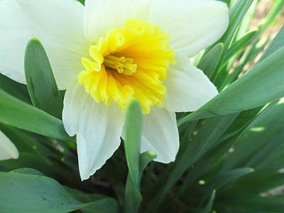 Photograph - White Daffodil by Amanda Balough