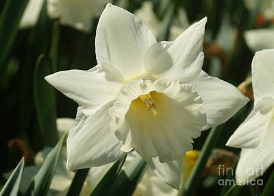 Photograph - White Daffodil by Rudi Prott