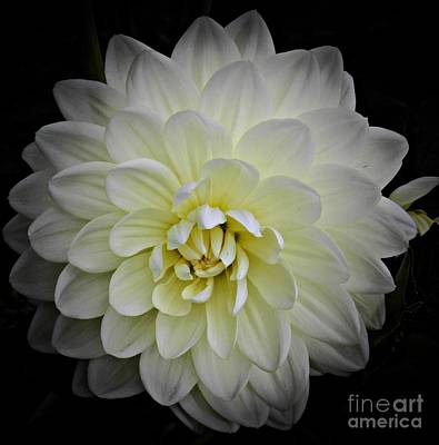 Photograph - White Dahlia 2 by Chalet Roome-Rigdon
