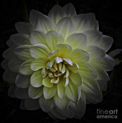 Mixed Media - White Dahlia 3 by Chalet Roome-Rigdon