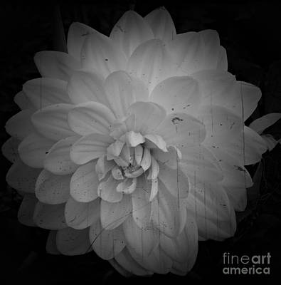 Aster Mixed Media - White Dahlia Bw Processed by Chalet Roome-Rigdon