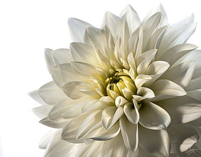 Photograph - White Dahlia Closeup by Endre Balogh